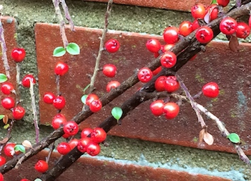 img_4660-cotoneaster